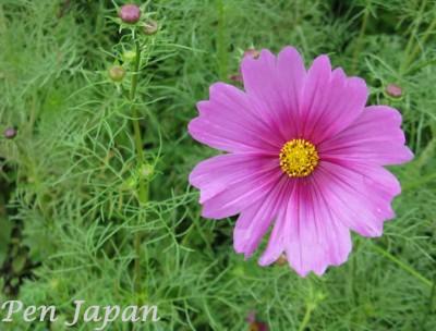 花博記念公園のコスモス