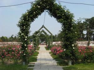 浜寺公園の薔薇