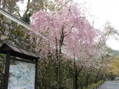 大原三千院の桜