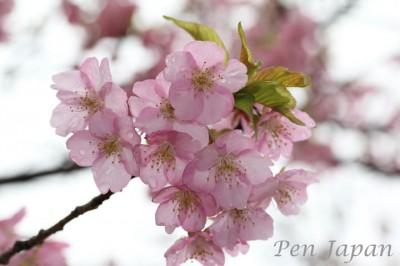 花博記念公園鶴見緑地の河津桜