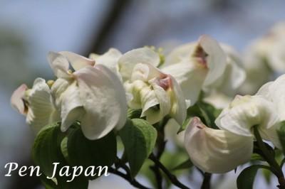 花博記念公園のハナミズキ