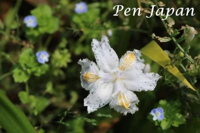 花博記念公園のシャガの花