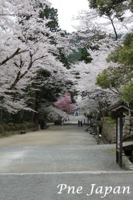 三井寺の桜