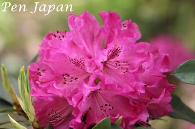 花博記念公園の石楠花(しゃくなげ)