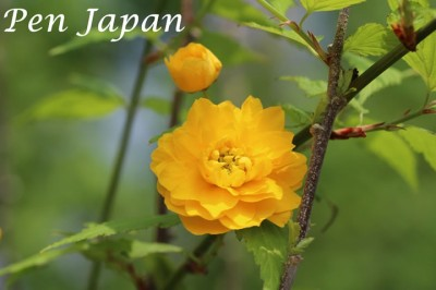 花博のヤマブキ(山吹)の花
