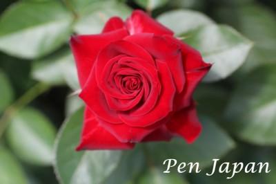 花博記念公園鶴見緑地の薔薇