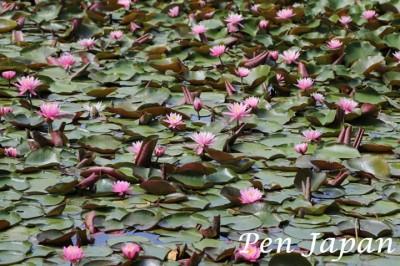 花博記念公園鶴見緑地の花(スイレン)