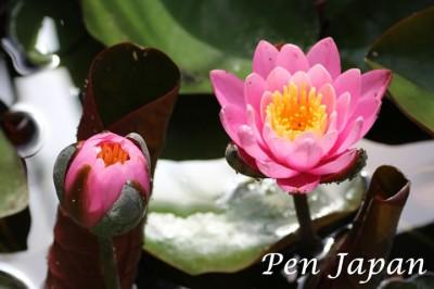 花博記念公園鶴見緑地の花(睡蓮)