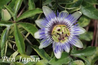 花博記念公園鶴見緑地のトケイソウ