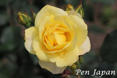 中之島公園の薔薇(バラ)