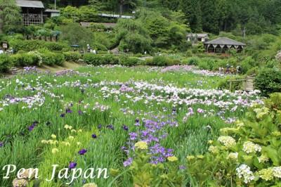 花の郷滝谷の花菖蒲と紫陽花