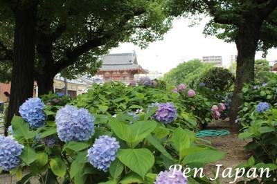 四天王寺の「北鐘堂」と紫陽花です。