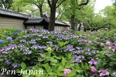四天王寺の紫陽花