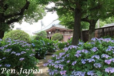 四天王寺の六時礼讃堂と紫陽花
