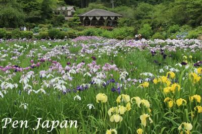 花の郷滝谷の花菖蒲