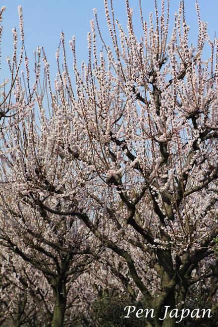 花博記念公園の杏