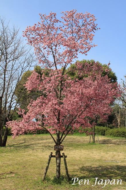 花博記念公園のオカメザクラ