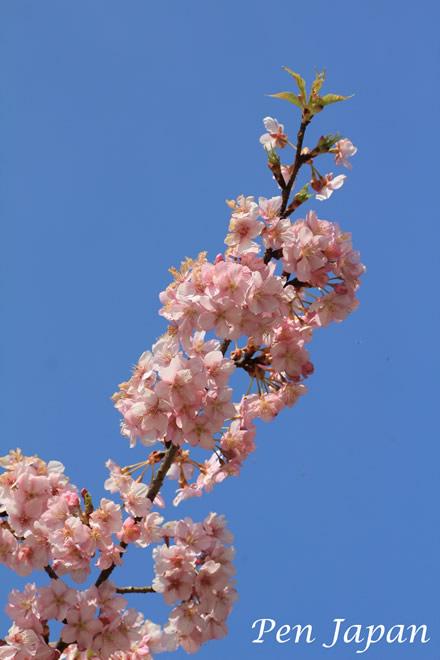 花博記念公園の河津桜
