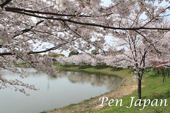 花博記念公園の桜