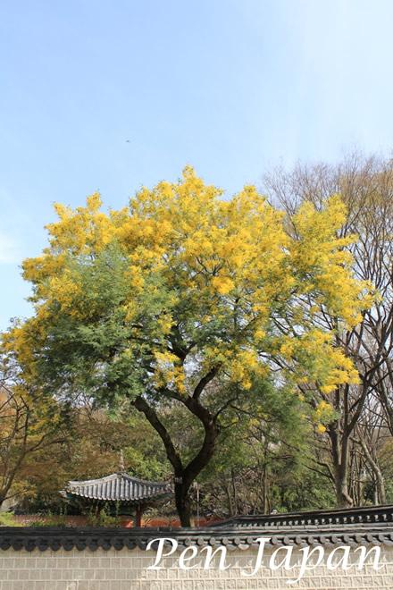 花博記念公園のアカシア