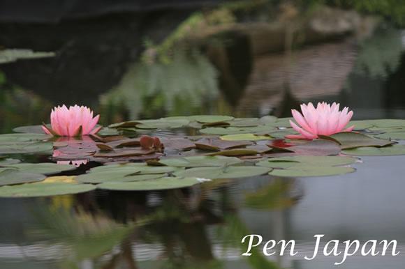 花博記念公園の蓮の花