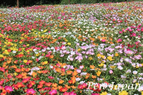 花博記念公園のポピー