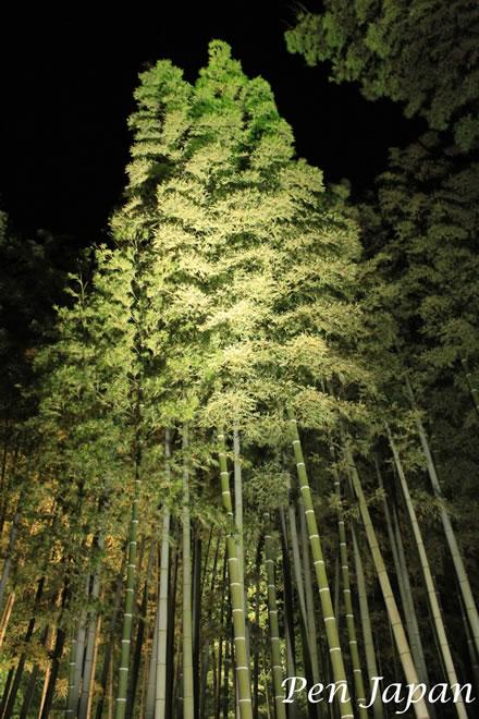 高台寺のライトアップされた竹林