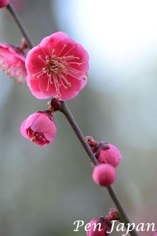 博記念公園鶴見緑地の紅梅