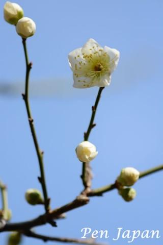 花博記念公園の白梅