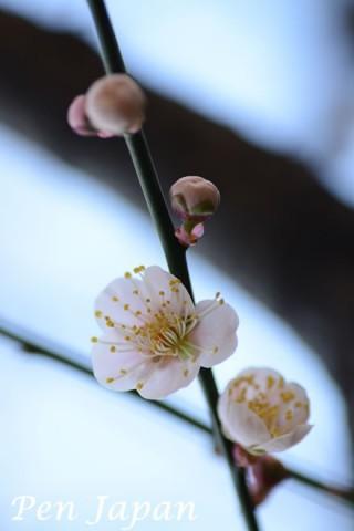 博記念公園鶴見緑地の白梅