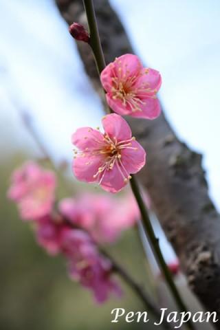 花博記念公園の紅梅