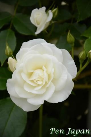 長居植物園の薔薇