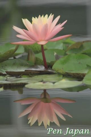 花博記念公園の睡蓮の花