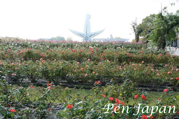 万博記念公園のバラ