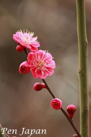 花博記念公園鶴見緑地の紅梅