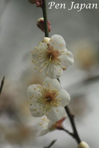 花博記念公園鶴見緑地の白梅