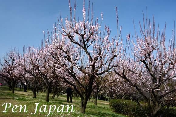 花博記念公園の杏(アンズ)