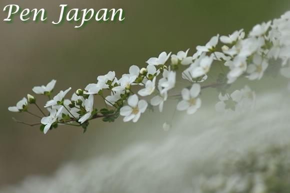 花博記念公園の雪柳