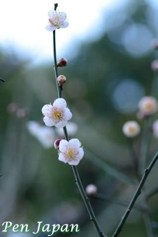 花博記念公園鶴見緑地の梅林