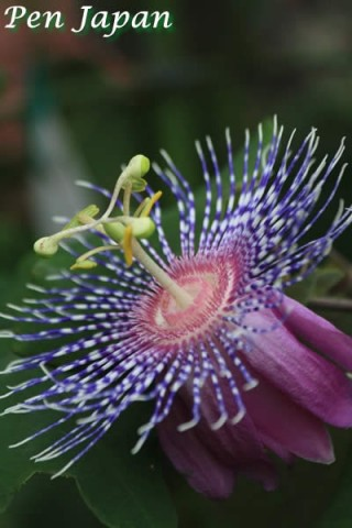 咲くやこの花館のトケイソウ