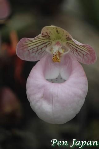 咲くやこの花館のパフィオペディルム・ミクランツム