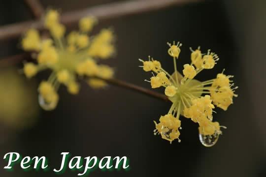 花博記念公園鶴見緑地のサンシュユ