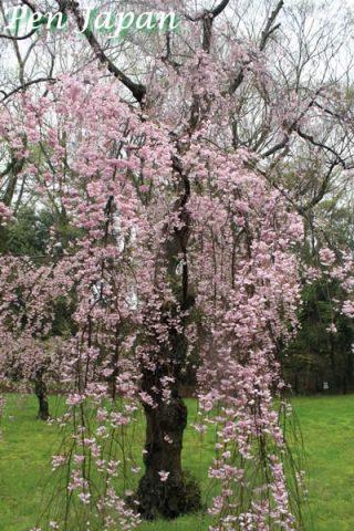 二条城の枝垂桜