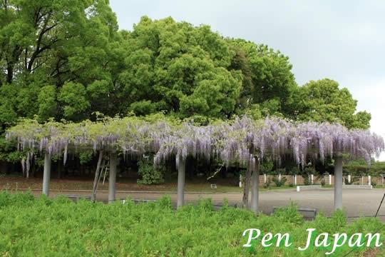 長居植物園の藤棚