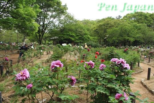 長居植物園の牡丹園