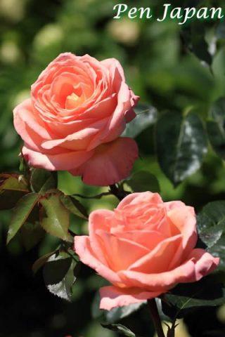 万博記念公園の薔薇