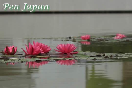 花博記念公園鶴見緑地のスイレン
