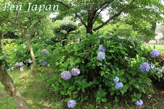 大阪城公園のあじさい