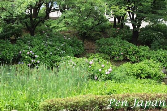 大阪城公園のアジサイ