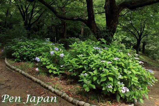 大阪城公園の紫陽花